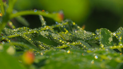 Water Droplets (elenaleong) Tags: waterdroplets dewdrops foliage leaves nature garden botanicgarden elenaleong refraction morningsunlight naturallight bokeh