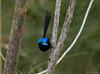 Male Variegated Wren (Bini Sathyan) Tags: variegatedwren wren birds bird birding fairywren warriewood warriewoodwetlands wetlands sydney birdphotography birdwatching