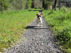 Puppy power (staceygallagher2) Tags: jackrussell ireland photography cute animal dog running puppy