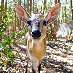 """Duiker • <a style=""""font-size:0.8em;"""" href=""""http://www.flickr.com/photos/152934089@N02/36904237814/"""" target=""""_blank"""">View on Flickr</a>"""