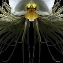 Cymbidium & Tillandsia (Explore) (Pixel Fusion) Tags: tillandsia air plant cymbidium orchid flower flora nature macro nikon d600
