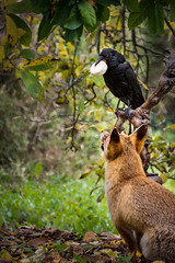 The Fox and the Crow (Jean-Luc Peluchon) Tags: fz1000 lumix story fable legend animal raven crow wild wildlife fox forest tree autumn color cheese nurseryrhyme