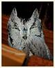 Sleepy Western Screech Owl (gauchocat) Tags: pimacountyarizona tucsonmountains