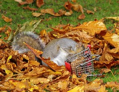 grey squirrel  with shopping trolley cart  in park autumnleafs on grass . (32) (Simon Dell Photography) Tags: sheffield botanical gardens city park 2017 simon dell photography pan statue wood spirit god woods grey squirrel cute awesome funny countryfile springwatch autumn fall leafs uk england october weatjher seasonal with shopping cart trolley micro toy model coke bottle coca cola knuts conkers photo pic
