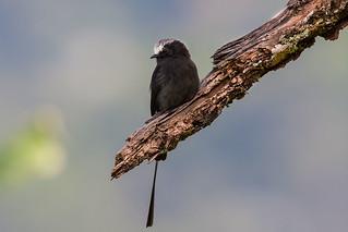 Viuvinha (Colonia colonus) - Long-tailed Tyrant