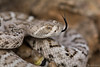Western Diamondback Rattlesnake (Daniel R. Wakefield) Tags: western diamondback rattlesnake snake animal reptile wildlife creature creation venomous dangerous tongue flick eye closeup portrait desert sand rocks photography