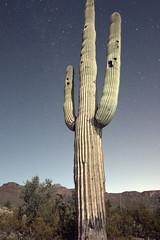 Giant Saguro at dusk (JoelDeluxe) Tags: saguaro national park border crickethead inn tucson az arizona cacti landscape bednbreakfast nighttime long exposures stars wideopen skies joeldeluxe