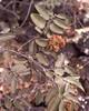 Eriophyid mites damage on Diospyros sandwicensis (J. B. Friday) Tags: eriophyid mites diospyros diospyrossandwicensis ebenaceae