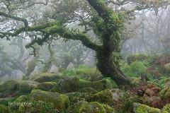Yautja Prime (http://www.richardfoxphotography.com) Tags: wistmanswood stuntedoakwoodland oaktree trees woodland forest twobridges dartmoornationalpark granite fog mist
