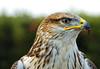 Hawk portrait (sirVictor59) Tags: hawk falco nature natura natur italy italia volo uccello cielo ritratto sirvictor59 nikon