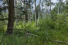 Anglų lietuvių žodynas. Žodis capulin tree reiškia capulin medis lietuviškai.