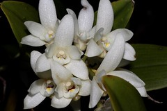 Dendrobium falcorostrum (andreas lambrianides) Tags: dendrobiumfalcorostrum orchidaceae beechorchid thelychitonfalcorostrus australianflora australiannativeplants australianorchids australianrainforests australianrainforestorchids whiteflowers epiphyte dendrobium arfp qldrfp nswrfp coolrainforest arfflowers whitearfflowers