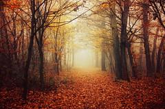 Autumn Walk LX. (Zsolt Zsigmond) Tags: forest trees woodland autumn fall light fog mist nature beautyinnature morning path leaves footpath foliage outdoor
