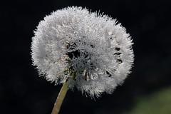 Blowball In Dew (gripspix (OFF)) Tags: 20171016 nature autumn herbst blowball pusteblume droplets tröpchen tau dew macro makro löwenzahn dandelion