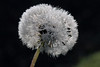 Blowball In Dew (gripspix (OFF)) Tags: 20171016 nature autumn herbst blowball pusteblume droplets tröpchen tau dew macro makro löwenzahn dandelion