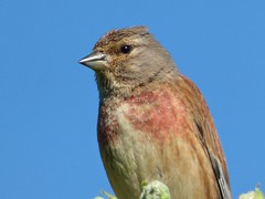 Linnet (Peanut1371) Tags: linnet bird finch nationalgeographicwildlife