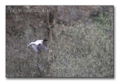 Vallon du Stangalard 2017 - le harle bièvre (porte-plume) Tags: brest stangalar stangalard