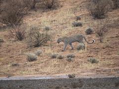 PA042469 adj Leopard (Joanna P Dale) Tags: kgalagaditransfrontierpark matamata olympus omdem1mkii panasonic100400 africanleopard leopard