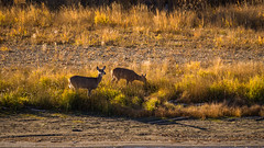 White Tailed Does 3 (kensparksphoto) Tags: deer does alberta fall autumn sunny afternoon white tailed