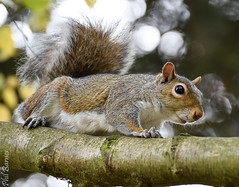 Parkwood Squirrel after being annoyed by a cat! 3 (philbarnes4) Tags: squirrel parkwood rainham kent england branch philbarnes animal rodent dslr nikond5500 wildlife