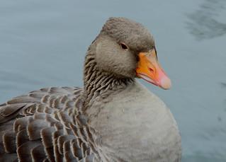 Greylag Goose(Anser anser)