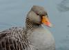 Greylag Goose(Anser anser) (jdathebowler Thanks for 1.4 Million + views.) Tags: greylaggoose explored23092017 anseranser anseriformes aver familyanatidae avianexcellence eblouissantenature alittlebeauty specanimal coth5 specanimalphotooftheday autofocus