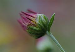 One Last Bloom (><Nessa><) Tags: flower macro 90mm green pink bokeh edmonton muttartconservatory