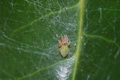 Arachtober 29 (b) (Procrustes2007) Tags: spider nigmawalckenaeri arachnid arachtober leafspider meshwebspider littlegreenfurry male macro nikond50 nikkor50mmais tamron2xteleconverter vivitarextensionrings68mmtotal flash greatcornard suffolk uk britain england