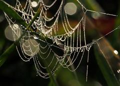 organic halloween decoration (skloi) Tags: halloween cobweb spiderweb dew tau drops tropfen tautropfen spinnennetz morning herbst autumn fall macromondays