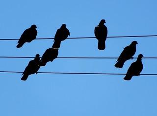 Pigeons Flocking