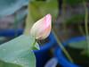 Nelumbo nucifera 'Fen Ling Long 13' Lotus Wahgarden 002 (Klong15 Waterlily) Tags: lotus lotusflower flower pond lotusland landscape smalllotus chineselotus thailandlotus garden wahgarden