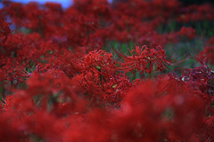 Red (Maluka.X) Tags: red blood flower plant nature