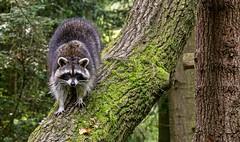 ein Bär, der sich gewaschen hat ... 😉 (gabrieleskwar) Tags: outdoor waschbär wildpark anholt tiere tier baum baumstamm raccoon