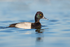 Lesser Scaup (PhillymanPete) Tags: aythyaaffinis cambridge duck wildlife oakleystreet nature water lesserscaup choptankriver waterfowl seaduck drake maryland unitedstates us nikon d800e