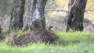 brown hare Lepus europaeus leporidae