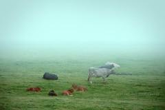 "Ireland (alice 240) Tags: ireland europa nikon galway europe flickr nature travel animals alice240 atelier240art ngc nationalgeographic sky alicealicjacieliczka tourism dream magic poetry atmosferic landscape nebbia campo ""nikonflickraward"" autofocus simplysuperb cow"