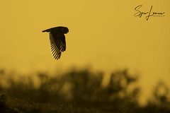 Velduil-20567 (Sjors loomans) Tags: bird birds prey nature natuur natuurfotografie outdoor owl owls roofvogels short eared velduil vogel wildlife sjors loomans holland