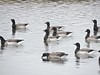 Brant (old photo) (GoldenEagle754) Tags: newjersey avalon birdwatching nature wildlife outdoors brant flock