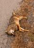 (Levi Mandel (@levimandel)) Tags: color roadtrip nashville tn america americana fall thanksgiving roadkill street weird magic sad cow coyote dead bloated romance