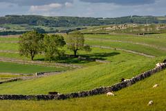 Early Summer, White Peak (Peter Quinn1) Tags: whitepeak litton peakdistrict drystonewalls sheep limestone derbyshire summer june buttercups