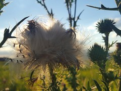 Cirsium vulgare (Iggy Y) Tags: cirsiumvulgare cirsium vulgare summer blossom flower seed seeds green leaves nature field plant običniosjak osjak streličasti spearthistle thistle sunny day light blue sky white cloud