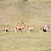 Eland. Largest of antelope. Ngorongoro