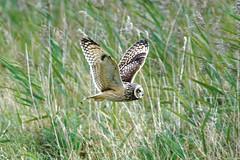 Short Eared Owl (andrew.jarwick) Tags: short eared owl