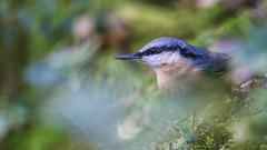 Motionless for a Moment (Mark BJ) Tags: daisynook countrypark bardsley manchester uk oldham nuthatch sittaeuropaea aqueduct valleyaqueduct pointedbill eye blackeyestripe whitecheeks bluegreyback failsworth pretty fast quick catchlight explore