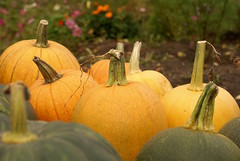The Great Pumpkins (obsequies) Tags: pumpkinpatch fall autumn harvest pumpkins colours colors leaves garden gardening minifarm homestead country orange yellow rainbow green earthy nature homegrown vegetablegarden halloween pumpkinspice love magic seasons canada manitoba organic dark aesthetic simple life pumpkincurl whimsy fae whimsical fairy fairytale cinderella shabby chic cottage colorful colourful stems