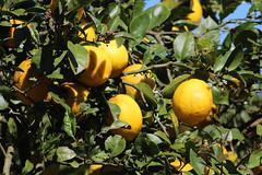Citrons prêts à être cueillis (philippeguillot21) Tags: citron petiteîle réunion canon pixelistes