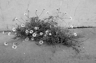 Charming little flowers, growing in the sidewalk crack - Explored!