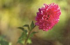 Dahlia (mamietherese1) Tags: texture ngc phvalue world100f itsallaboutflowers artdigital magicunicornverybest