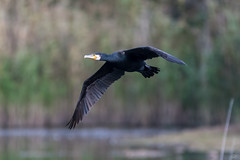 "Cormorant  -  Kormoran (CJH Natural) Tags: cormorant kormoran ight licht bird vogel avian natural nature natur wild wildlife outdoor feather beak bill birder birding birders bokeh christopherharrisorg flickr fluidr animal eu europe luxembourg birdofprey raptor birdinflight bif inflight flying fly ""nikon d500"" nikon nikkor 200500mm nikond500nikon200500mm nikon200500mm edvr telephoto"