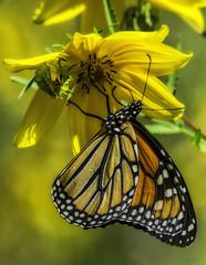 MonarchButterfly_SAF4608-2 (sara97) Tags: danausplexippus butterfly endangered insect missouri monarch monarchbutterfly nature outdoors photobysaraannefinke pollinator saintlouis towergrovepark